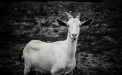 a curious goat (kevin s. z) Tags: