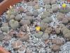 DSCF1478 (BobTravels) Tags: plant stone bob lithops lithop messem bobwitney