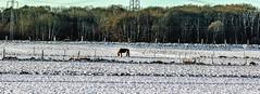 Single.jpg (peter.spotka) Tags: schnee winter canon key kalt pferde bume koppel hight moers 600d klingerhuf