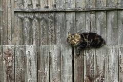 Next door' Moggie (R.E.CHARTER.) Tags: hairy london animal cat moggie thamesmead awps pussyportrait