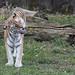 tiger at lincoln park zoo 84
