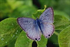 IMG_6657 Lampides boeticus ♂ (Raiwen) Tags: africa butterfly lycaenidae lampidesboeticus centralafrica polyommatinae sãotoméepríncipe sãotomé lampides