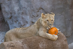 As Good as a Pumpkin Pie! (marzipan bunny) Tags: november pumpkin lion 20 bigcats lioncubs 2014 reidparkzoo