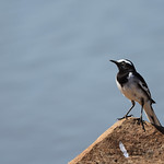 BBR-White-browed-wagtail