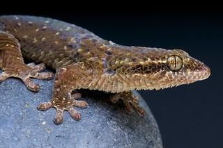 Fishscaled gecko / Geckolepis maculata