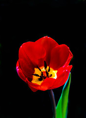 Red Tulip (http://fineartamerica.com/profiles/robert-bales.ht) Tags: red plants black flower green bulb wow spectacular spring tulips superb awesome fineart scenic surreal peaceful stamens idaho sensational pedals bouquet bulbous inspirational spiritual sublime magical tranquil emmett magnificent inspiring filaments flicker perennial tulipa haybales stupendous greetingcards whiteflowers liliaceae freshcut flowerphotography picturesqueness canonshooter idahophotography photouploads americanphotograph robertbales northamericanphotography tulipdisambiguation