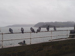 Sea Front Pigeons (rjmiller1807) Tags: bird birds seaside pigeons plymouth aves avian 2012 plymouthsound