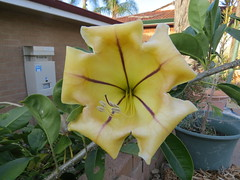 Day 318 (dee-angel4711) Tags: perth wa wanneroo goldenchalicevine chaliceflower goldenchaliceplant goldenchaliceflower