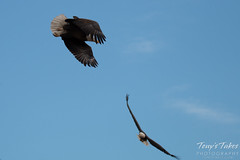 5 of 8 - Bald Eagle chases off another eagle