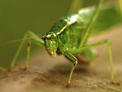 Green Grasshopper (haidarism (Ahmed Alhaidari)) Tags: nature grass insect insects grasshopper freen حشرة طبيعة عشب جرادة خضراء حشرات