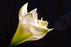 DSC00157 (christophhornung142) Tags: white flower whiteflower lily calla sony flash lilies simplicity alpha blume drama lilie elegance onblack whitelilies lilywhite floralbeauty whitebeauty blackon beautyfloral lilycalla