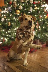 Merry Christmas! (miss_n_arrow) Tags: christmas dog holiday tree cute happy wave canine juneau bow cheer huskador