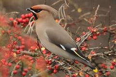 Waxwing. (stonefaction) Tags: nature birds scotland dundee wildlife waxwing explored