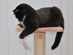 Playing with her mousie (vanstaffs) Tags: t tuxedocat tutu tusse tussi tuzz cc100 tuxedogirl myprettytuxedogirl tuzz®