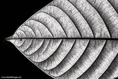 Dry Fish (bnilesh) Tags: fish nature closeup leaf pattern shape