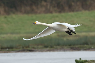 Cygnus columbianus bewickii - Bewick's Swan