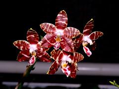 phalaenopsis  amboinensis (Eerika Schulz) Tags: phalaenopsis amboinensis eerika schulz