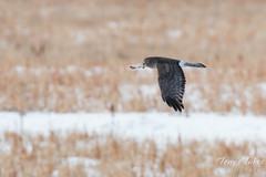 Male Harrier Hawk Flyby