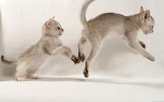 Singapura Kittens 61 (peter_hasselbom) Tags: cats cat 50mm fight brawl kitten play flash kittens onwhite playfight singapura 8weeksold twocats 2cats 2flashes 2kittens