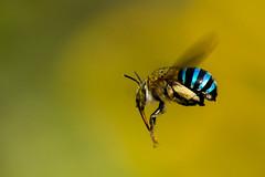 The Flying Bee (shoyeb anwarul azim) Tags: ngc