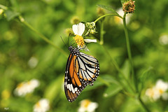 Black Veined Tiger (Beegee49) Tags: black nature butterfly insect tiger veined