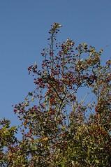 Ein fruchtender Weißdorn (Crataegus sp.); Bergenhusen, Stapelholm (19) (Chironius) Tags: stapelholm bergenhusen schleswigholstein deutschland germany allemagne alemania germania германия niemcy frucht fruit frutta owoc fruta фрукты frukt meyve buah rosids fabids rosales rosenartige rosaceae rosengewächse rosoideae pyreae kernobstgewächse pyrinae crataegus weisdorn
