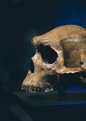 The Broken Hill skull (Clare Havill) Tags: natural history museum naturalhistorymuseum cadogan gallery cadogangallery treasuresinthecadogangallery treasures nikon nikond610 d610 with nikkor afs vr micro 105 nikond610withnikkorafsvrmicro105 homo rhodesiensis homorhodesiensis chordata class mammalia order primates family hominidae tribe hominini genus species h kabwe1 heidelbergensis northernrhodesia kabwecranium kabwe cranium explore clarehavill