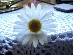 . (Contradicciones ) Tags: flower nature simplicity daisy margarita