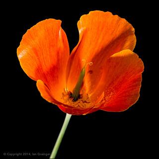 65/100 - Californian Poppy