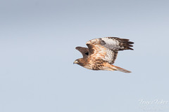 Red Tailed Hawk Flyby