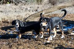 Eero and Sage (Thaddz) Tags: dog puppy washington mtbaker northcascades sennenhund entlebucher bakerlake entlebuchermountaindog balihararanch doublegapfarm