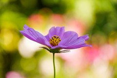 / Cosmos (kimtetsu) Tags: autumn flower fall japan    cosmos