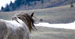 Free (prairiegirrl) Tags: wyoming mustang wildhorses greenmountainhma