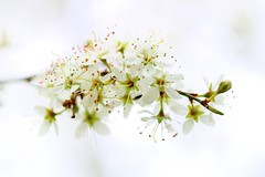 blossom on the blackthorn tree (Suzie Noble) Tags: tree blossom blackthorn strathglass struy blackthorntree
