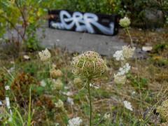 ([gegendasgrau]) Tags: light urban detail nature graffiti licht mood moody bokeh box tag natur atmosphere melancholy dortmund stimmung 2010 ambiance gbr wildcarrot wildekarotte melancholie wildemhre abonded atmo bltenstand daucuscarotasubspcarota