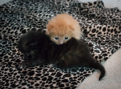 IMG_9477 (jaglazier) Tags: usa cats playing cute animals babies unitedstates tiger may indiana kittens siblings bloomington mammals blackie 2016 52416 copyright2016jamesaglazierandjamesaferguson