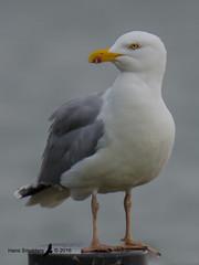 716_0481 (Hans Smulders) Tags: vogels tholen zilvermeeuw