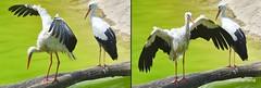 1-20160731 rituals for bird experts, storks - 2-3 Le Cornelle (profmarilena) Tags: storks cicogne lecornelle nikond810 nikkor135f2 storksritual