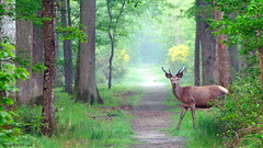 Cerf, Chambord (Phil du Valois) Tags: red wild stag wildlife free deer chambord libre cerf sauvage faune