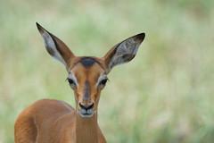 Suedafrika-10 (Lukas P Schmidt) Tags: nationalpark antilope krugerpark