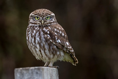 Bit less grumpy (irelaia) Tags: wild bird canon little owl sat 500mm grumpy less littleowl lessgrumpy
