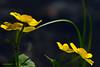 Populage des marais / Marsh Marigold (anjoudiscus) Tags: light canada flower fleur yellow jaune plante spring montréal lumière explore mai québec printemps d800 jardinbotanique marshmarigold 2016 calthapalustris kingcup tc14 populagedesmarais ranumculaceae roseange nikkor300mmf4epf