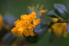 DSC_0126.NEF (tibal26) Tags: flower closeup natural x10