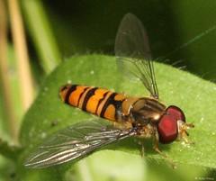 Winterschwebfliege (Episyrphus balteatus , NGIDn301374436 (naturgucker.de) Tags: episyrphusbalteatus naturguckerde hausgartenlaudenbachhaydnstrase cpeterpreus ngidn301374436