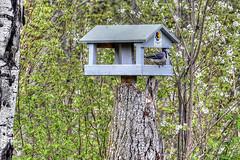 Fly Thru Service (Cindy's Here) Tags: ontario canada bird canon birdfeeder bluejay pearl billsoldamethystmine