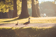 Walky-walky (spiridono) Tags: duck duckling walking park sun atmosphere light golden birds family cure sunset