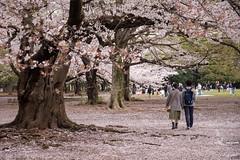 Love (M.Boubou) Tags: park city pink flower tree nature leaves japan tokyo couple blossom walk sakura japenese