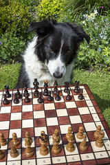 Deciding on the first move (Keartona) Tags: poppy chess chessboard chesspieces outside sunny day garden england bordercollie dog playing game