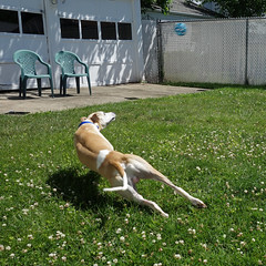 Athlete (DiamondBonz) Tags: dog pet play hound run whippet spanky