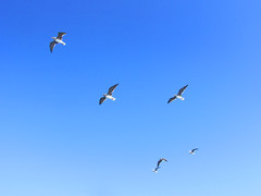 Sea Gulls (shaire productions) Tags: egypt egyptian image picture photo photograph travel world vacation beach hurghada redsea nature outdoors birds seagulls fly flight flying animals